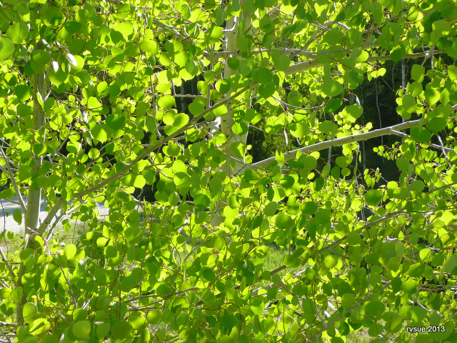 Imagine if all of us were as the leaves of the aspen. . . gentle hearts with light shining through.