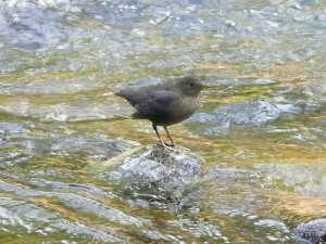 I watched this American dipper for several minutes as he posed and dipped near my chair.
