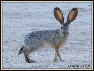 1-black-tailed-jackrabbit-002